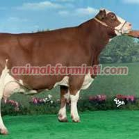 French Simmental cattle