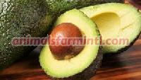Fresh Avocado for Sale