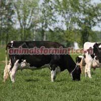 Holsteins Cow