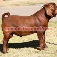 Kalahari Red goat