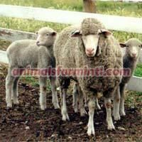 Panama Sheep