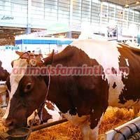 Pie Rouge des Plaines cattle