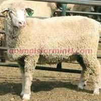 Targhee Sheep