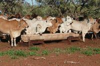 Cattle Supplementary Feed