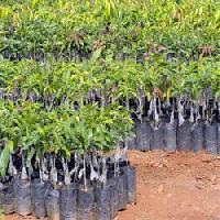 Chikoo Plants