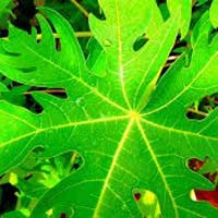 Fresh Papaya Leaves