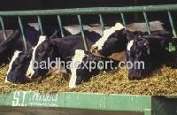 Millet For Cattle Feed