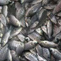 Tilapia Fish Seeds