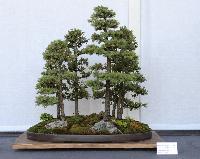 Bonsai Plants