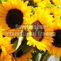 Fresh Sunflower