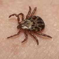 Ticks Pest Control Services
