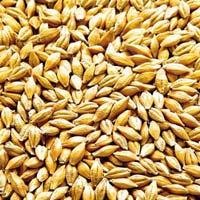Malted Barley Seeds