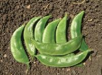 Fresh Lablab Beans