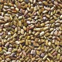 Aloe Vera Seed