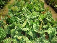 Indoor Foliage Plants - (01)
