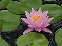 Water Flower Plants