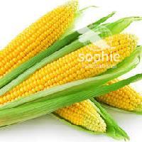 Yellow Maize Corn