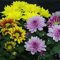 Fresh Chrysanthemum Flowers