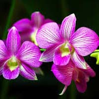 Fresh Orchid Flowers