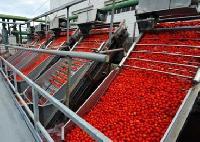 Tomato Ketch Up Plants