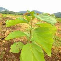Teak Plantation Services