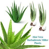 Aloe Vera Barbadensis Miller Plants