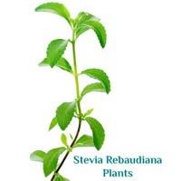 Stevia Rebaudiana Plants
