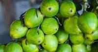 Green Areca Nut