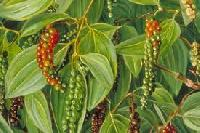 Black Pepper Extract (piperine 95%)