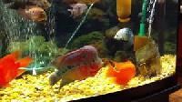 Flower Horn Aquarium Fish