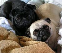 Pugs Dogs