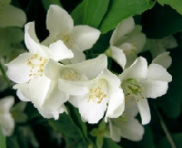 Jasmine Oil