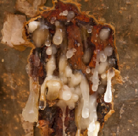 Olibanum Oil, Frankincense Oil