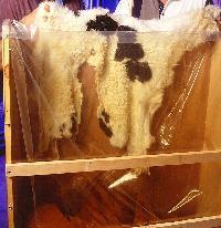 Salted & Wet Blue Goat Skin