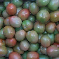 Export qlity Green Tomato