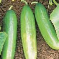 F1 hy cucumber seed