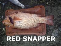 indian fresh fish