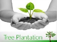 Teak Plant