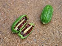Tree Seed