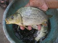 Fresh Water Indian Fish