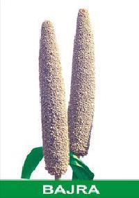 Hybrid Bajra Seeds