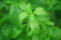 Stevia (sweet Leaf)