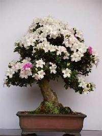 Plants For Bonsai