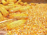 Yellow Corn Maize(animal Feed)