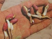 Peanuts Seed