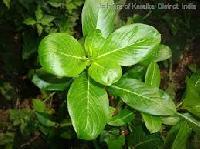 Vinca Rosea Leaves