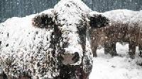 Frozen Cattle