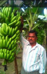 Best Quality Banana Producer