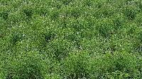 Holy Basil Leaves & Seeds (organic)