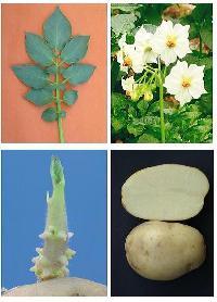 Chipsona Potato Seeds